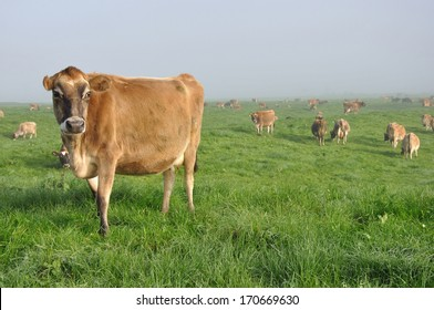 Jersey cow on pasture in morning mist, West Coast, New Zealand