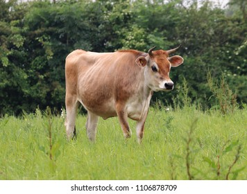 Jersey Cow standing in an English meadow in an English meadow