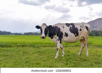 A jersey cow standing on a grass field with a mountain and sky in the background