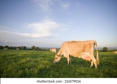 Jersey cows grazing in rural field