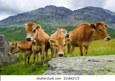 Jersey Cows with mountain