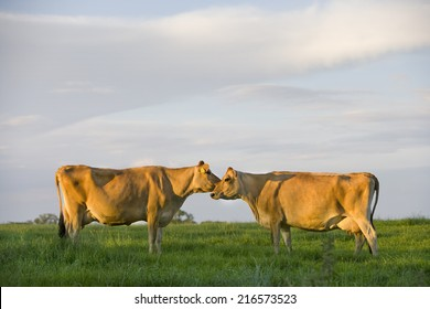 Jersey cows standing face to face in rural field