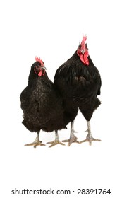 Jersey giant black rooster and hen isolated on white