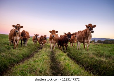 Jersey herd at dusk