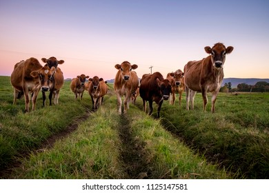 Jersey herd at dusk