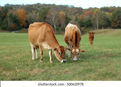 Jersey Milk Cow And Bull Grazing In Open, Green  Pasture  Field With Young Heifer Calf Looking On Behind And Red, Yellow & Orange Fall Colored Trees Beyond On A Farm In The Mountains Of Virginia