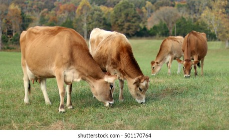 Jersey Milk Cows And Fifteen Month Old Bull Grazing Together In Open Green Pasture Field With Red, Yellow And Orange Fall Colored Trees Beyond On A Farm In The Mountains Of South West Virginia