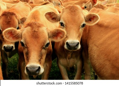 Jersey milk cows on a farm in South Africa