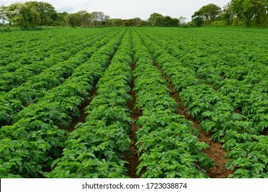 Jersey Royal potato crop, U.K. Lush green produce near harvest in the country side.