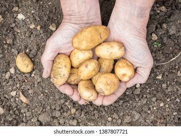Jersey Royals new potatoes in a farmers hands