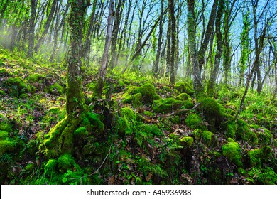 JERTE, EXTREMADURA, SPAIN - MARCH, 29, 2017: Oak forest in the valley known by the culture of cherries