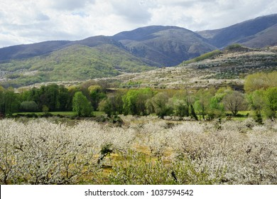 JERTE VALLEY,SIERRA DE GREDOS,CACERES,EXTREMADURA,SPAIN-MARCH,29,2017:Cherry trees in the Northwest slope