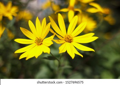 Jerusalem artichoke, bright yellow flowers in daylight. Helianthus tuberosusa species of perennial herbaceous tuberous plants of the Sunflower genus of the Asteraceae family.