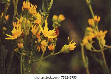Jerusalem artichoke flowers with red beetles on them. Warm calming summer colors, vintage style. Green plants and stalks of yellow tiny flowers , close up on petals and invertebrates.