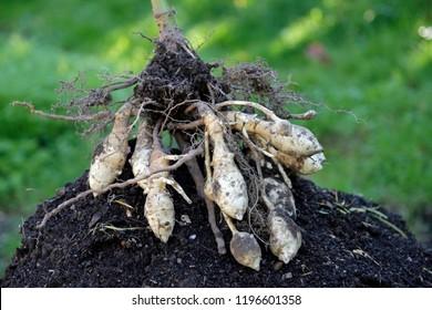 Jerusalem artichoke is a sunflower edible root vegetable