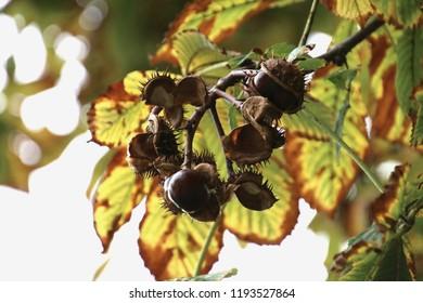 jesen kesten maroons - Shutterstock ID 1193527864