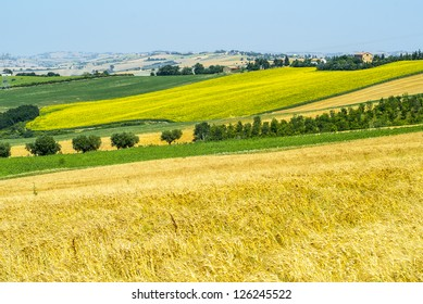 Jesi - Cingoli (Macerata, Marche, Italy) - Landscape at summer, with sunflowers
