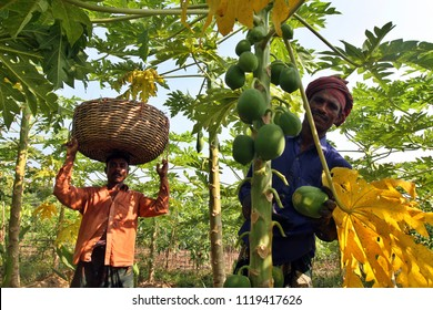 Jessore, Bangladesh - October 10, 2014: Bangladeshi farmers collect Papaya after harvest them from a field in Jessore, Bangladesh on October 10, 2014