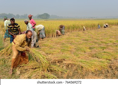 JESSORE, BANGLADESH-NOVEMBER 12, 2016: Bangladeshi farmers cut and collects paddy after harvest at Jessore, Bangladesh on November 12, 2016.