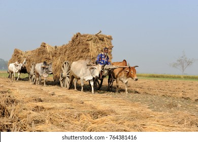 JESSORE, BANGLADESH-NOVEMBER 12, 2016: Bangladeshi farmers collecting rice straw on a bullock cart after the harvest at Jessore, Bangladesh on November 12, 2016.