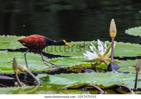 Jesus Bird (Jacana) walking on water lilles on a river, Bird of the Rainforest