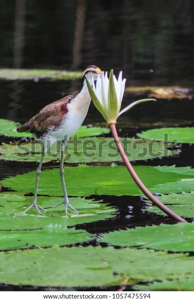Jesus Bird (Jacana) walking on water lilles on a river, Bird of the Rainforest