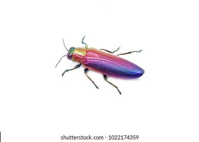 Jewel beetle (Chrysochroa fulminans nishiyamai) one of world's most beautiful beetle from Sinuk, Indonesia. Isolated on white background.