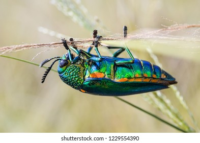 Jewel beetle in field macro shot, Thailand
