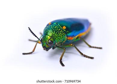 Jewel beetle, Metallic wood-boring beetle on white background, Colorful bugs