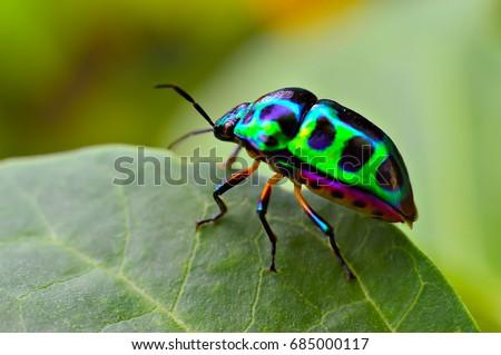 jewel bug chrysocoris stollii beetle shield の写真素材 今すぐ編集