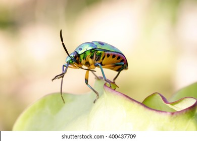 Jewel bug-metallic shield bug