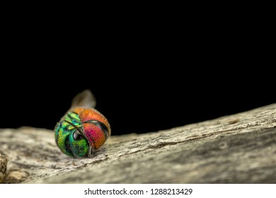 A jewel wasp and black background. Ball, night