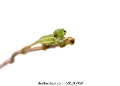 Jeweled Chameleon - Furcifer Campani - Captive Born at Canvas Chameleons