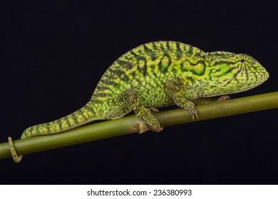 Jeweled chameleon / Furcifer lateralis