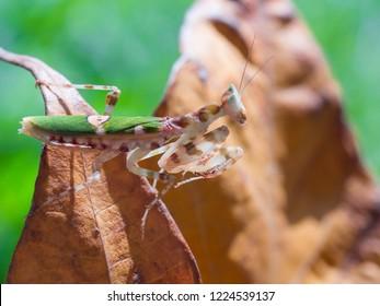 jeweled flower mantis, Indian flower mantis, Creobroter gemmatus