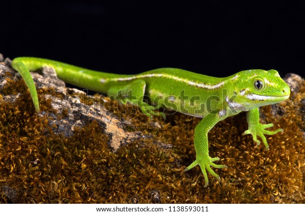 The Jewelled gecko (Naultinus gemmeus) is a native species to the South Island of New Zealand. It is found only on the southeast of the South Island.