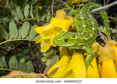 The jewelled gecko is one of New Zealand's most beautiful lizards. This gecko was photographed in the bright yellow flowers of the kowhai tree deep in the forests of Otago.