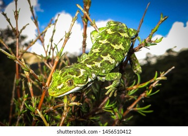 The jewelled gecko is one of New Zealand's most beautiful lizards and is often adorned with bright yellow or cream diamond patterns or stripes. They are a cryptic, arboreal forest-dwelling gecko.