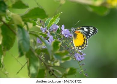 Sưu tập Bộ cánh vẩy 2 - Page 80 Jezebel-delias-zebuda-pieridae-butterfly-260nw-1467601721