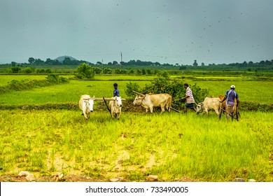 JHARKHAND, INDIA- AUGUST 15, 2017 : Unidentified farmers plows farm land by conventional method where plow is attached to bullocks in rainy weather in Jharkhand, India.
