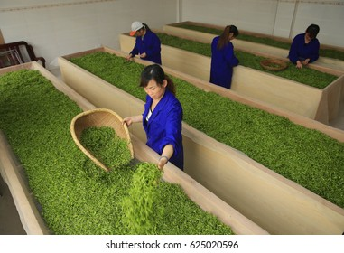 JIANGXI CHINA-March 27, 2014: Jiujiang, Green Tea production processing factory, female workers are selected for fresh tea shoots, in order to produce the highest quality tea, sell for a higher price.