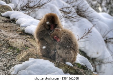 Jigokudani monkey hugging in each other when snowing at Jigokudani snow monkey park, Japan.