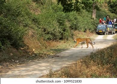 JIM CORBETT, INDIA-MAY 13: Tourists watching the Tigress Paro crossing the Sambar road along the Ram Ganga river on May 13, 2018, Jim Corbett, Uttrakhand, India