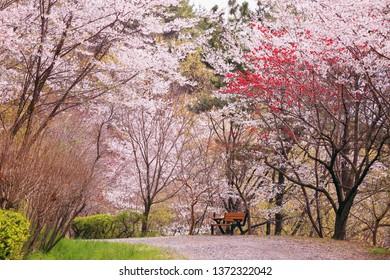 Jinhae Dream Road, Jinhae-gu, Changwon, Korea. Pink cherry blossom