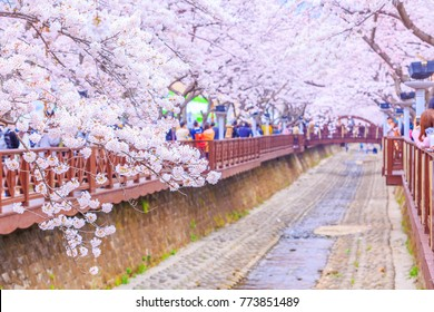 Jinhae gunhangje festival cherry blossom festival at Yeojwacheon Stream, Jinhae, Busan, South Korea.