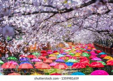 Jinhae at Gyeonghwa station is the largest cherry blossom festival in Korea.Tourists taking photos of the beautiful scenery around Jinhae at South Korea