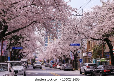 Jinhae, Korea - March 29, 2019: Cherry blossom on the street of Jinhae
