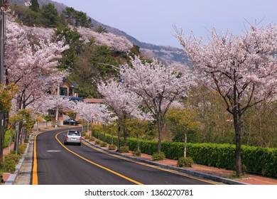 Jinhae, Korea - March 30, 2019: road with blooming cherry trees in Jinhae