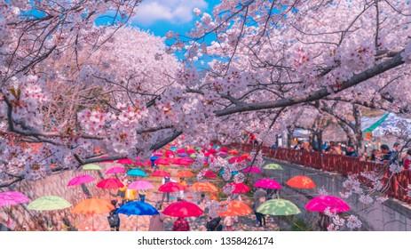 JINHAE, KOREA - MARCH 31, 2019: Beautiful cherry blossom festival at Spring Cherry blossom at Yeojwacheon, Jinhae,South Korea.