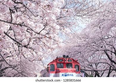 Jinhae, South Korea - April 2018 : Korea train in Jinhae cherry blossom festival at Jinhae city of South Korea on April 2018.